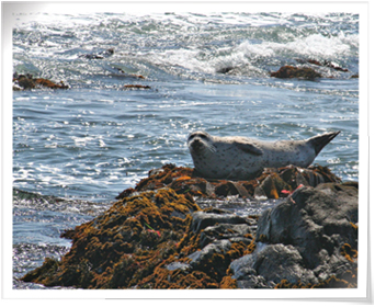 seals on Moonstone Beach